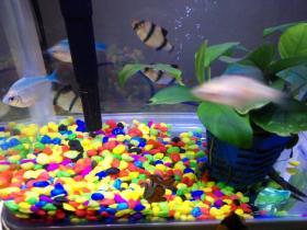 鱼缸里的清道夫被吃了,感觉鱼类的世界好残酷
